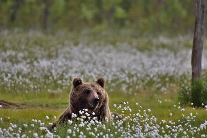 smiling brown bear by Niqueki - Covers Photo Contest Vol 40
