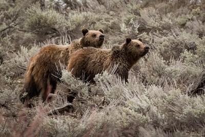 Grizzlies Bears-Oxbow Bend