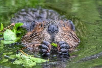 Beaver having breakfast