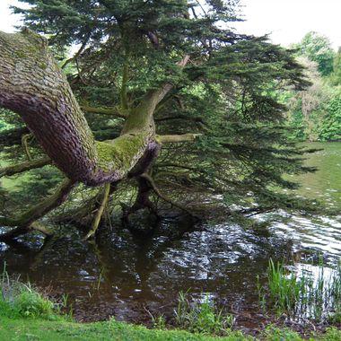 Blenheim tree