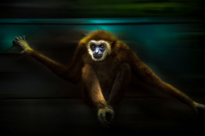 GIBBON by Missklik - Monkeys And Apes Photo Contest