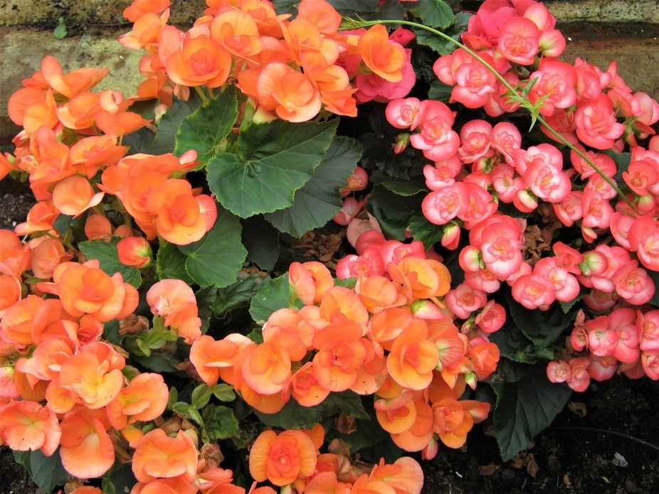 Blenheim flowers