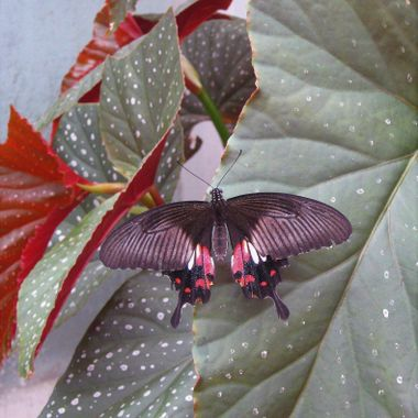 Blenheim butterfly