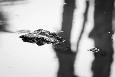 Lurking Crocodile- Cairns, Australia