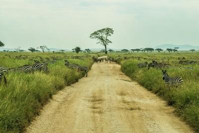 Serengeti Herd