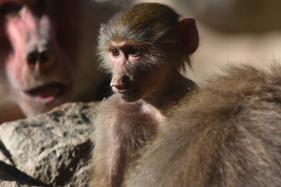 This very young Hamadryas baboon had such an old wise looking face !