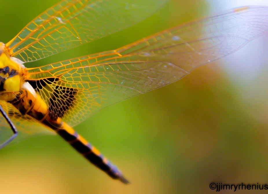 Took me almost an hour to let this dragonfly to settle nd pose