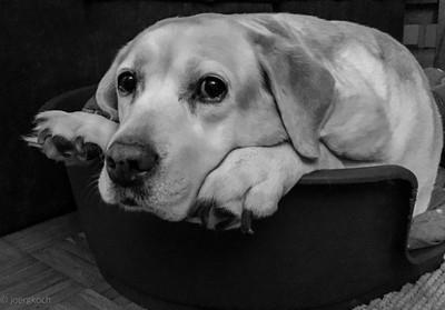 Labrador Leica r.i.p.