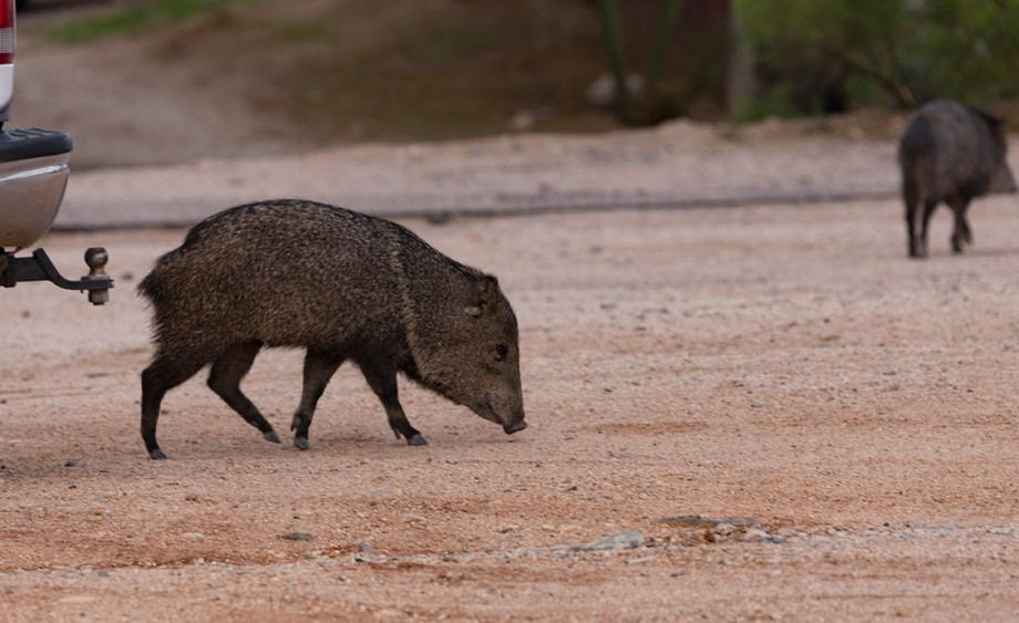 While out on a shoot, some visitors (javelinas) showed up. As long as you don't bother them, they don't bother you.