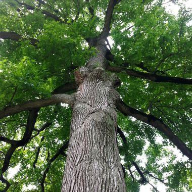 NYBG tree