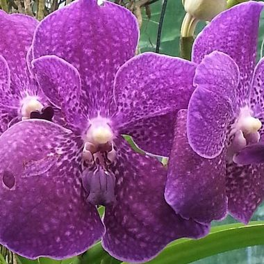NYBG orchids