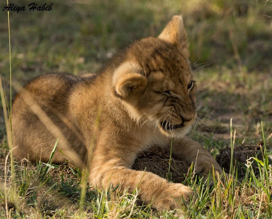 The winking cub