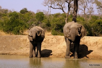 Drinking in tandem @ Kruger National Park