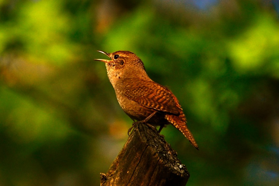 One of the most pleasant parts of summer is hearing the song of a House Wren.