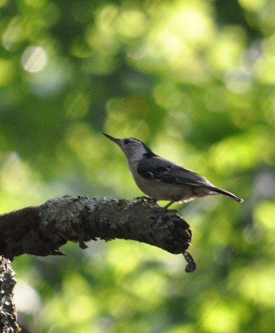 Good Morning Nuthatch