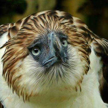 philippine eagle E copy