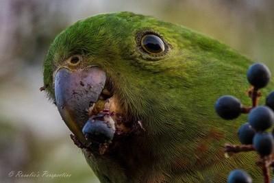 Birdie Num Nums.