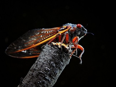 Bright colored Cicada