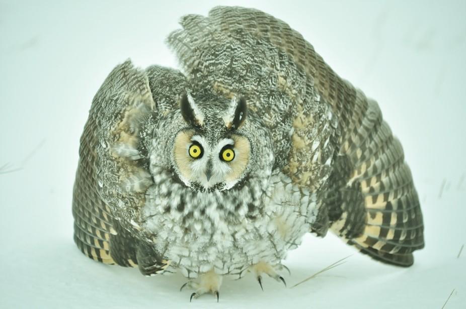 An angry Owl