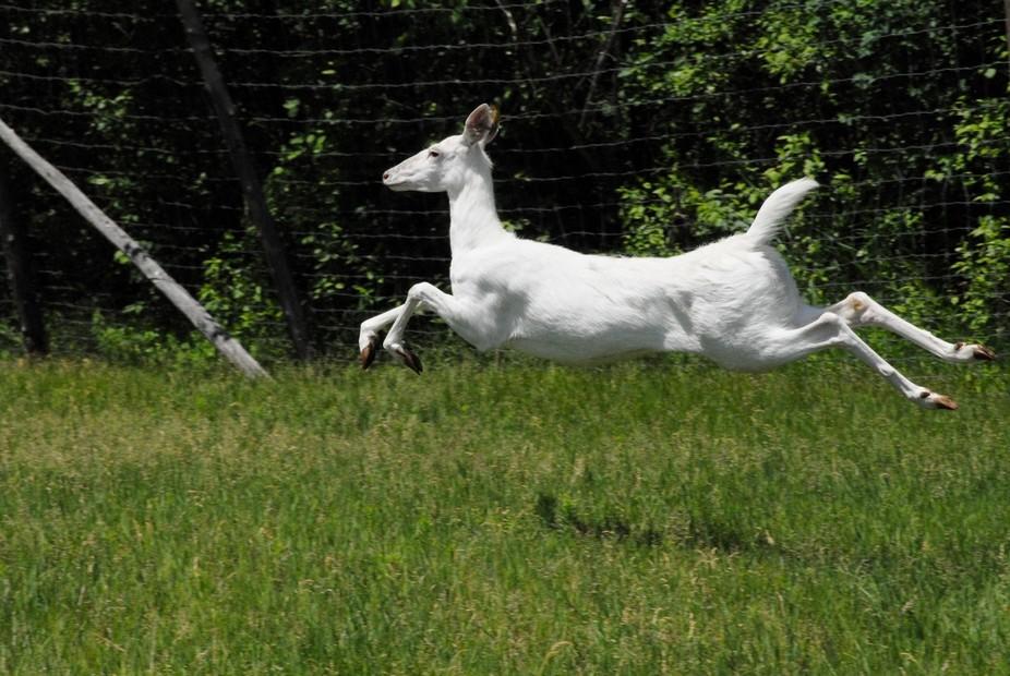 An albino whiytetail doe running scared