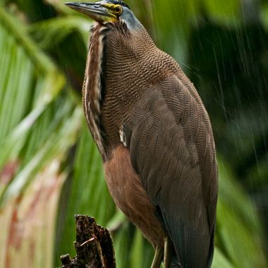 A bittern sits out the tropical rain storm in Costa Rica