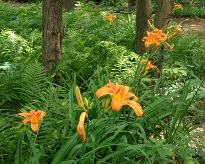 Magnificent Day Lilies
