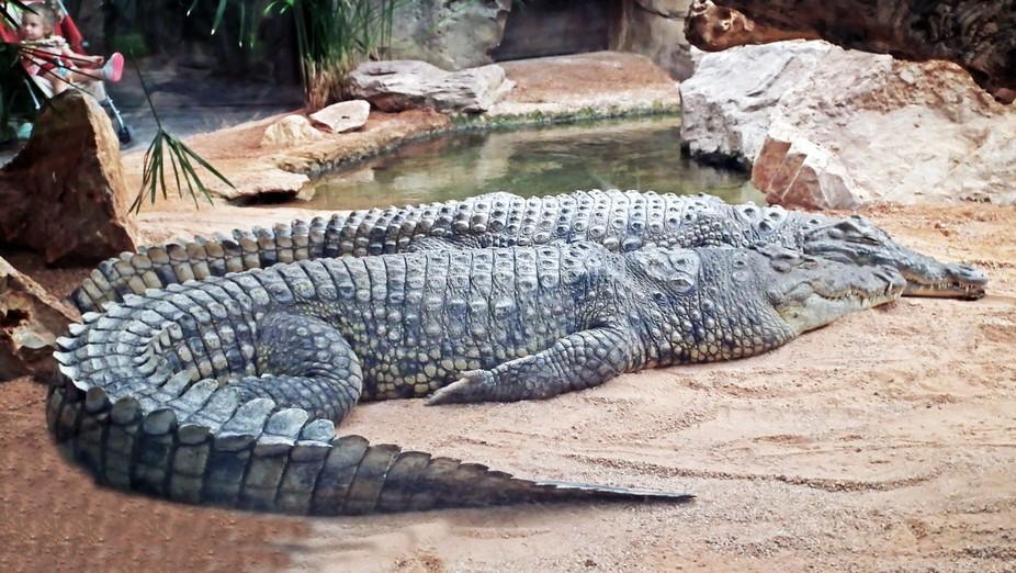 Krokodile leben in Flüssen und Seen der Tropen und Subtropen, nur das Salzwasserkrokodil kann au...