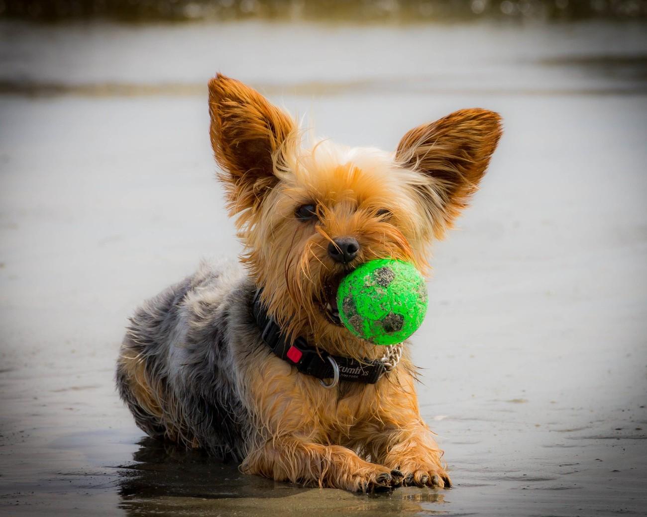 Beach Terrier