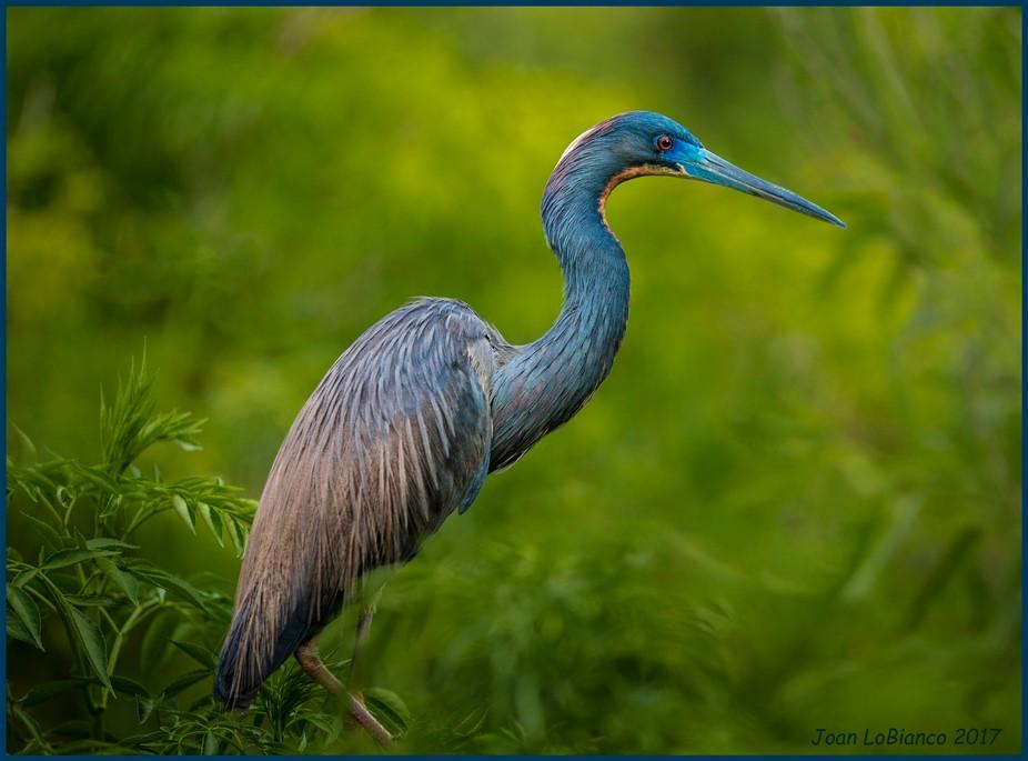 Blue Heron at Gatorland in Orlando