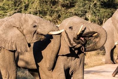 Elephants at play!