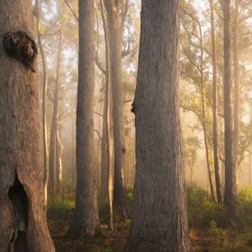 some misty fog and sunlight through the forest.  St Mary's State Reserve, St Mary's - Tasmania