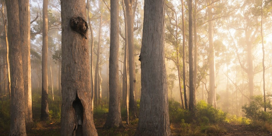 some misty fog and sunlight through the forest.  St Mary's State Reserve, St Mary&#0...