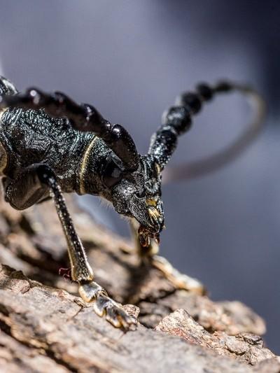bock beetle