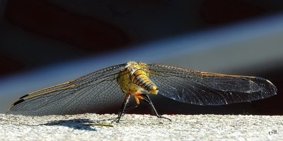 Wispy Wings