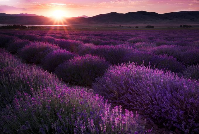 Lavender_Fields by ellestaples - Bright Colors In Nature Photo Contest