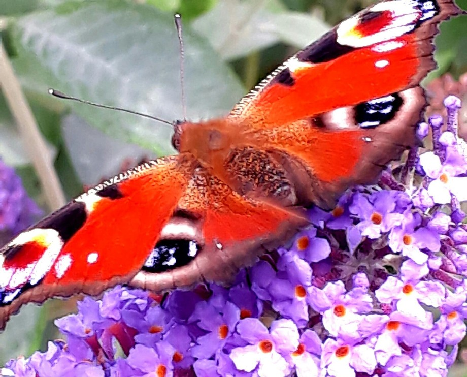Beautiful butterfly on the lilac blossom. Taken in Minehead Somerset