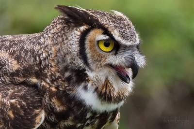 Owl call