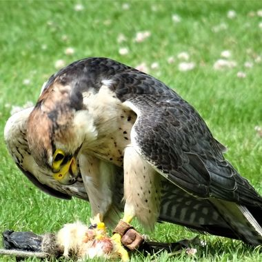 At Scone Palace enjoyed this Birds of Prey Demonstration