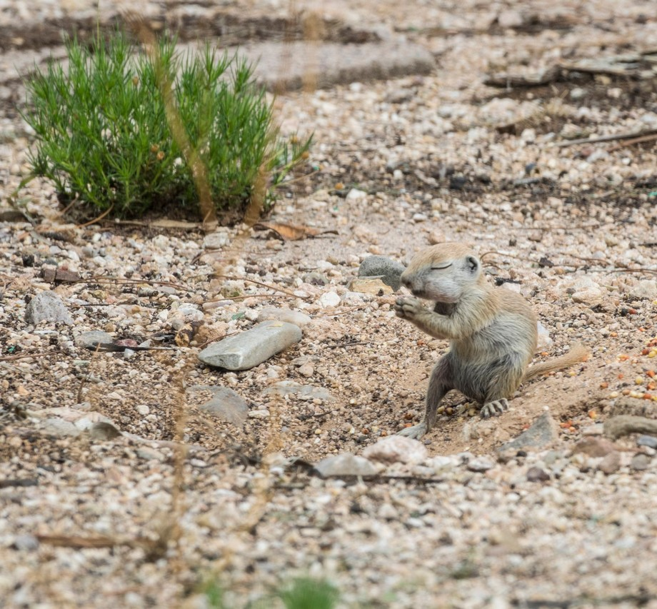 Round tailed ground squirrels that happen to live in our front yard.