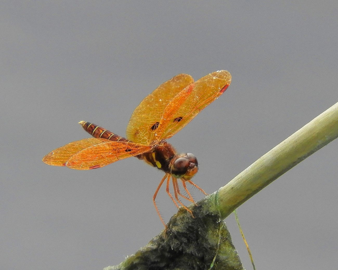 Eastern Amberwing photographed in the pond in my backyard.