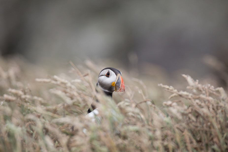 From the Puffin archives. This Puffin was great to observe. If I could speak Puffin I'm ...
