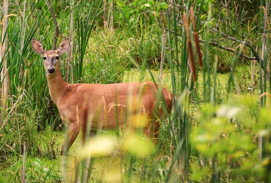 Deer Foraging in the swamp