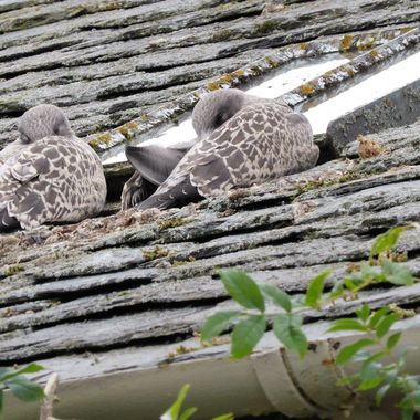 A couple wee Nairnites hivin a snooze, quite well camouflaged too.