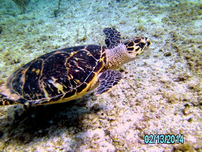 This beautiful turtle swam next to me for a long time.