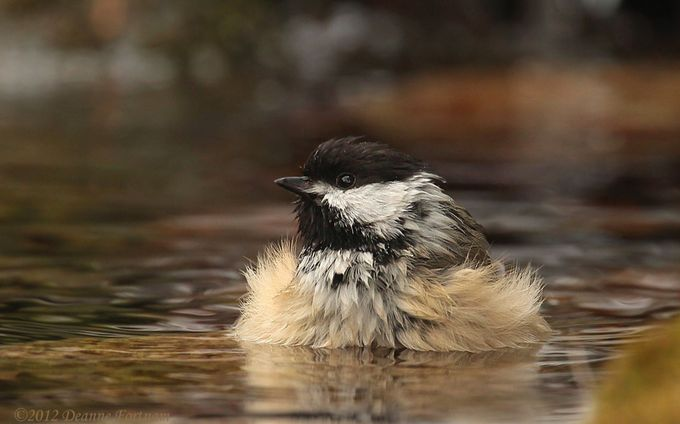 Chickadee  by deannefortnam - Animals And Water Photo Contest