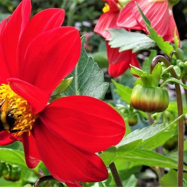 Love the bright red Dahlia with the added bee attraction