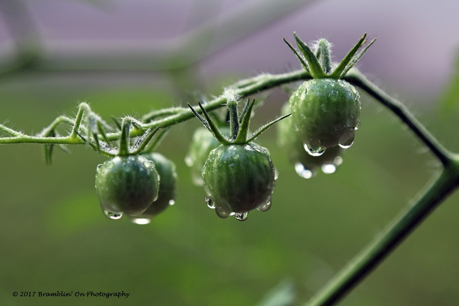 Morning dew on cherry tomatoes