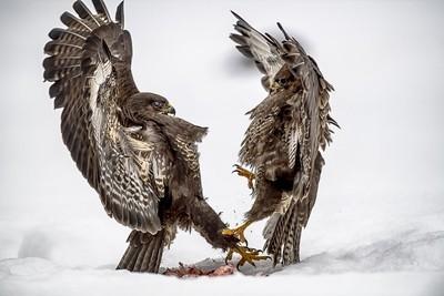 Polish winter wildlife