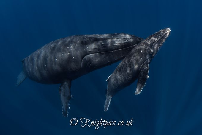 Mother & Calf  by chrisknight - Animals And Water Photo Contest