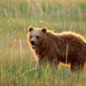 Alaskan coastal bear early in the morning on the meadow
